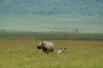 Rinoceronte negro en Ngorongoro. Abril de 2006.Tanzania
