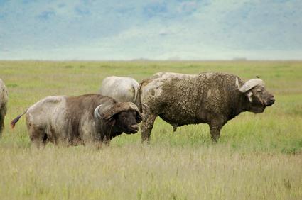 Búfalos en Ngorongoro. Tanzania. Abril de2006