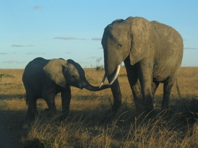 Elefantes en Mara. Masai Mara, Kenya, septiembre de 2006