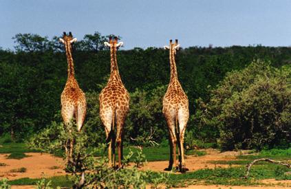Jirafas en Hwange(Zimbabwe)