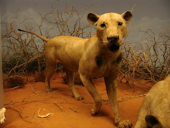 Los leones de Tsavo