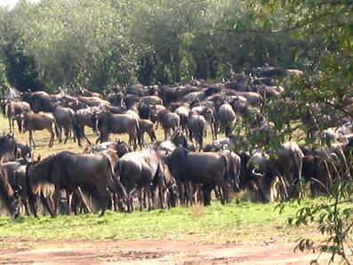 Ñues a punto de cruzar el Mara. Kenya, septiembre de 2005
