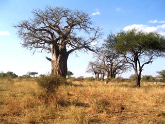 Baobab en Tarangire. Agosto de 2004.Tanzania
