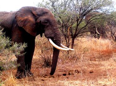 Elefante en Tarangire. Tanzania, agosto de2004