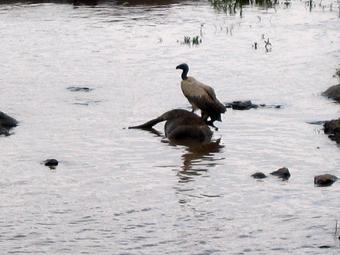Buitre sobre ñú. Mara river. Kenya. Septiembre de 2005