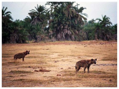 Hienas en Amboseli. Kenya. Septiembre de 2006