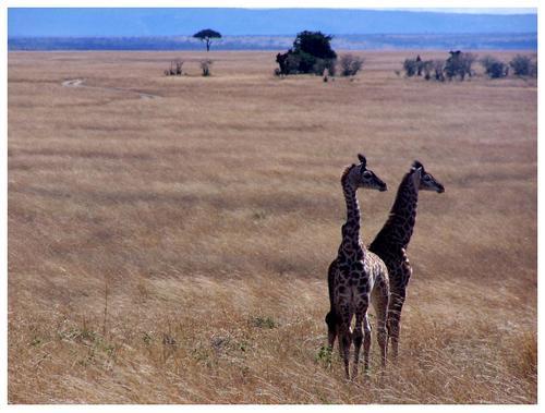 Cachorros de jirafa en Masai Mara. Kenya. Septiembre de 2006