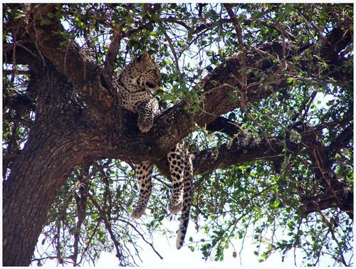 Leopardo. Masai Mara, Kenya, septiembre de 2006
