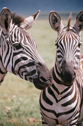 Cebras en el Ngorongoro. Tanzania, mayo de2006