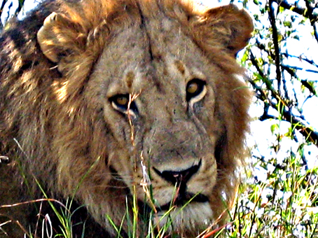 León macho en Masai Mara. Kenya. Septiembre de2005