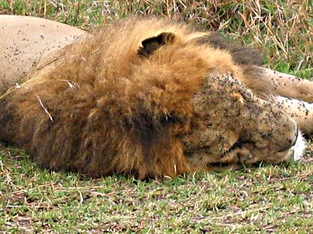 León. Masai Mara, Kenya. Septiembre de 2005