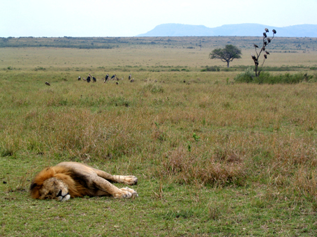León macho en Masai Mara. Kenya. Septiembre de 2005