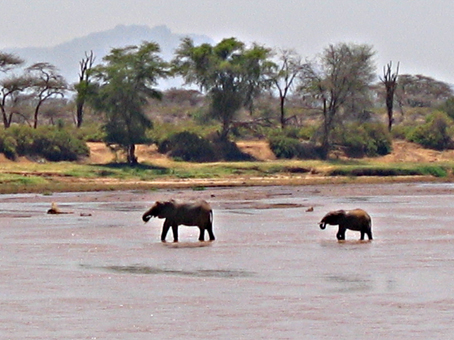 Elefantes cruzando el r�o Ewaso Ngiro. Samburu. Kenya. Septiembre de2005