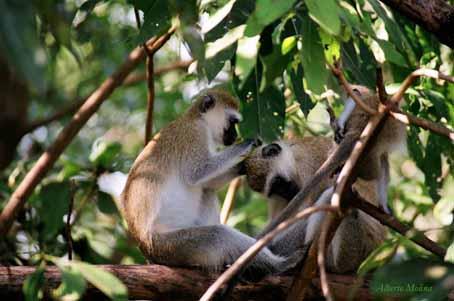 Vervet monkey en el LagoManyara