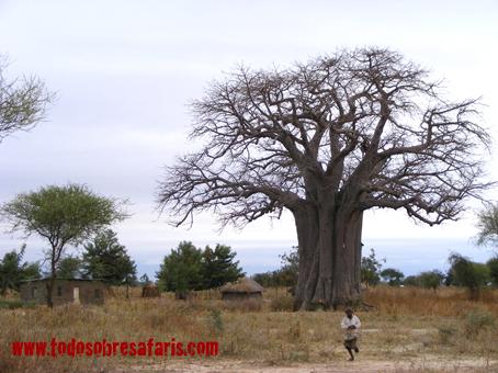 Poblado masai y baobab cerca de Tarangire. Tanzania, septiembre de 2007