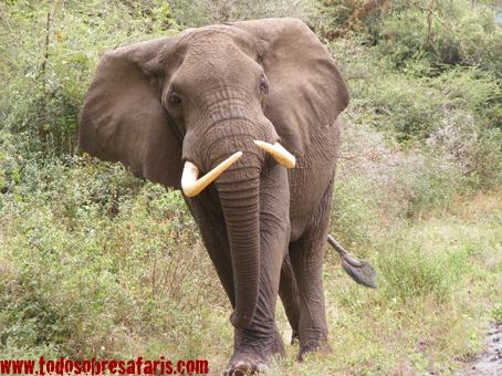 Elefante en el Lago Manyara. Tanzania. Agosto de 2007