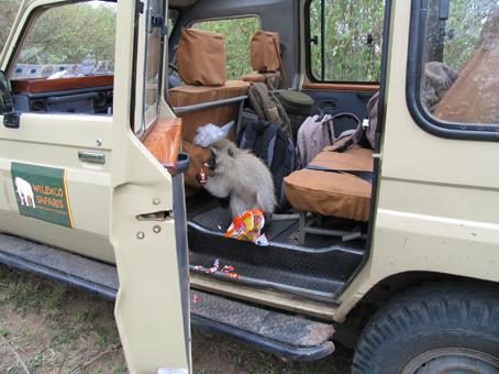 Vervet monkey comiendo caramelos. Masai Mara, Kenya. Septiembre2007