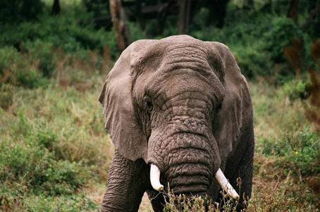 Elefante en el Ngorongoro. Tanzania. Agosto