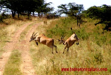 Elan oriental. Serengeti, Tanzania. Agosto de2007