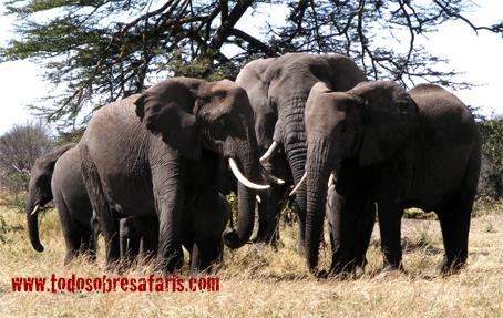 Elefantes en Serengeti. Tanzania. Agosto de2007