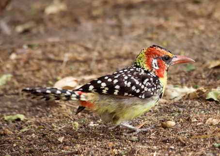 (Trachyphonus erythrocephalus-Red-and-Yellow Barbet) (Lago Natron) Tanzania