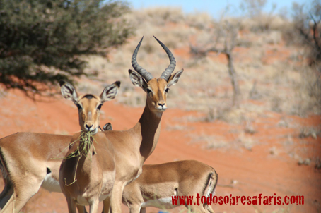 Impalas. Sudáfrica, agosto2007