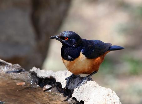 (Lamprotornis hildebrandti-Hildebrant's Starling)(Serengeti)