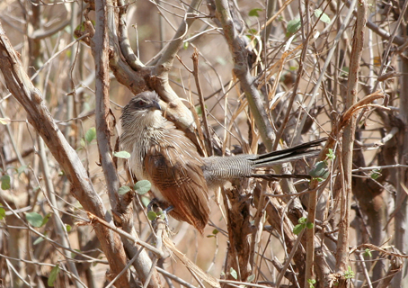 Centropus superciliosus-White-browed Coucal) (Tarangire