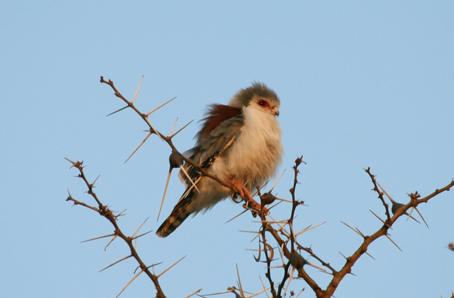 (Polihierax semitorquatus-Pygmy falcon) (Whistling Thorn Camp)(28.08.07)
