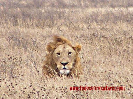 León en Ngorongoro. Tanzania. Agosto de 2007
