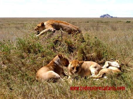 Leonas en Serengeti. Tanzania. Agosto de 2007