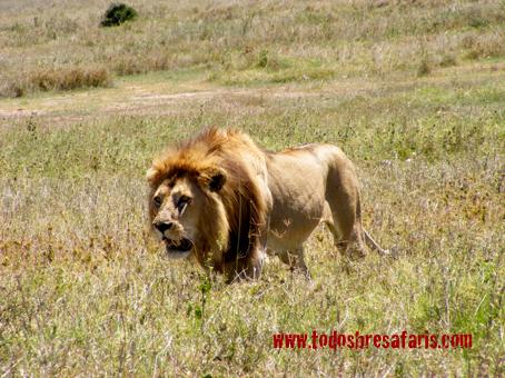 Gran león en Serengeti. Tanzania. Agosto de 2007