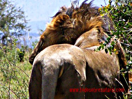 Leona en Serengeti. Tanzania. Agosto de2007