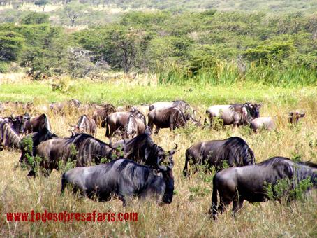 Migración en Bolongonya, Serengeti. Agosto de2007