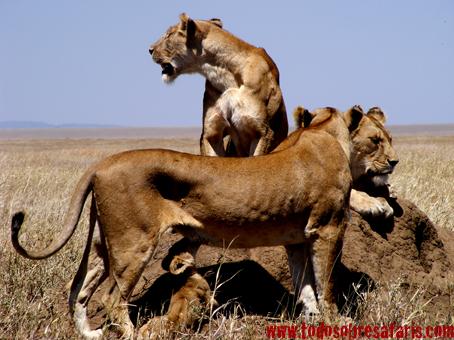 Leonas en Serengeti. Tanzania. Agosto de2007