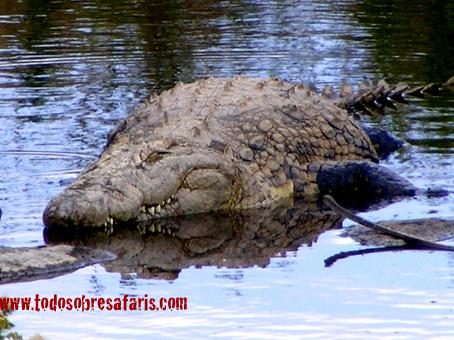Cocodrilo en Seronera. Serengeti. Agosto de2007