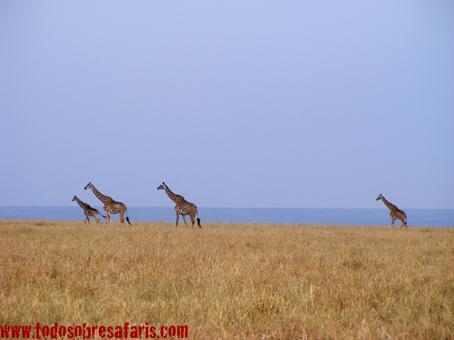 Jirafas en Masai Mara. Kenya. Septiembre de 2007