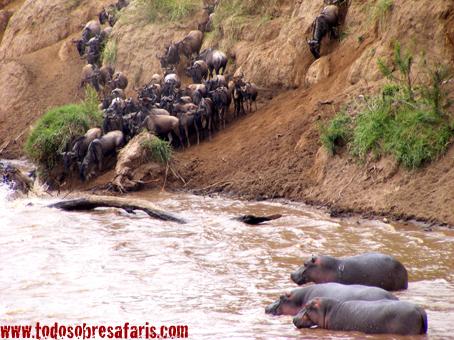 Cruce de ñúes en Mara. Kenya. Septiembre de 2007