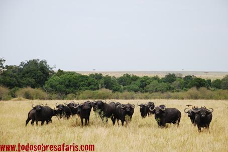 Búfalos en Masai Mara. Kenya. Septiembre de 2007