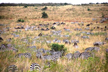 Cebras en Masai Mara. Kenya, septiembre de2007