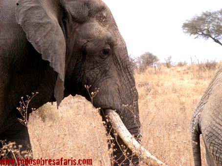 Elefante en Tarangire. Agosto de2007