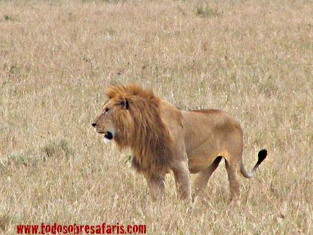 León en Masai Mara, Kenya, septiembre de2007