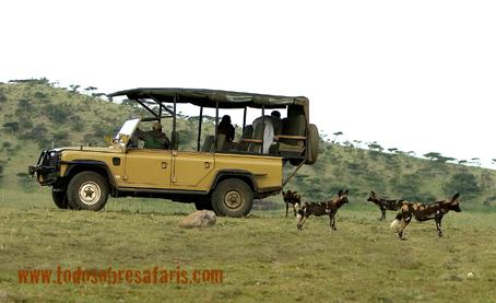 Licaones en Ndutu. Tanzania. AsiliaCamps