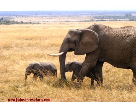 Elefantes en Masai Mara. Septiembre de2007