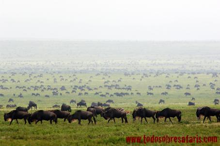 Migración en Ndutu. Tanzania. AsiliaCamps