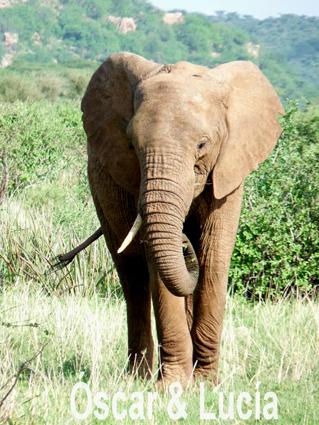 elefante_samburu