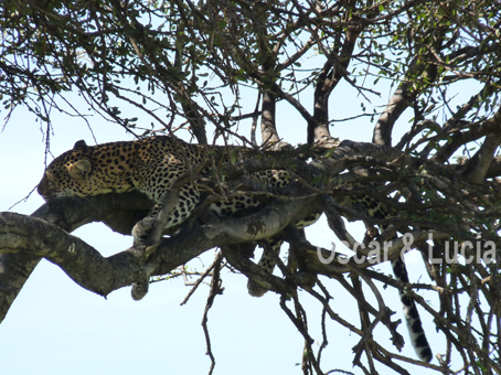 leopardo-b-1