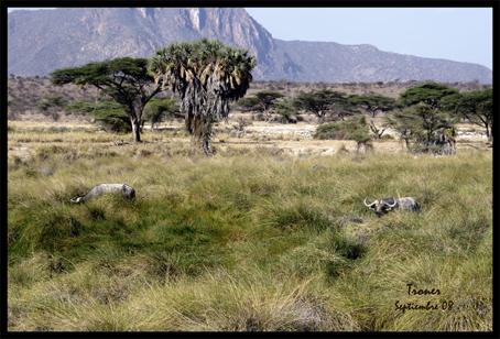 bufalos-en-shaba